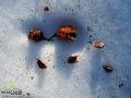 Wiele z nasion buków z koron spadło dopiero teraz po silniejszych podmuchach wiatru na śnieg.