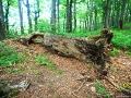 Jedno z wielu starych drzew leżących przy szlaku czerwonym z Cisnej przez Jasło i Fereczatą w stronę Smereka.