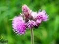 OSTROŻEŃ POLNY - roślina osiągająca między 50, a 150 cm. Często mylony z ostem.