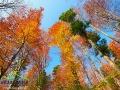 Kolory bieszczadzkich buków jesienią...