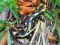 Jaszczurka SALAMANDRA nareszcie ma gdzie się schować, gdy liście z buków opadną.