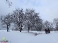 Kolejne drzewa owocowe po dawnych mieszkańcach Bieszczad podczas kuligu.