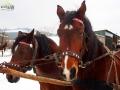 Konie zaprzęgnięte do sań.