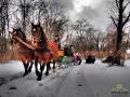 Pędzące konie podczas bieszczadzkiego kuligu.