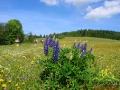 Wiosną łąki w drodze na Pikuj posiadają wszystkie kolory.