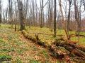 Idąc w większości bukowym lasem można podziwiać mnóstwo starych drzew porośniętych hubą.