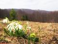 Przebiśniegi rosnące na pierwszej po drodze polanie.