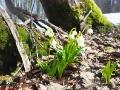 Przy pniach buków śnieg szybciej topnieje i od razu spod liści wychodzą śnieżyce wiosenne.