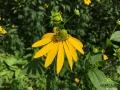 Pszczółka na kwiacie rudbeki.