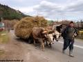 Wycieczki po Rumunii - woły ciągle w użyciu