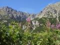 TATRY wycieczki - wierzbówka na tle gór
