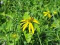 Rudbekia pochodzi z Ameryki Północnej. Była sprowadzona jako roślina ozdobna. Jest rośliną inwazyjną.