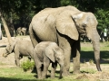Słonie afrykańskie w ZOO obok Nyiregyhazy.