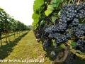 Winnice Podkarpacia i w Bieszczadach 5