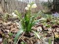 Śnieżyca wiosenna - jeden z pierwszych kwiatów w Bieszczadach.