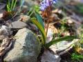 Cebulica rosnąca między skałami.