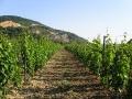 Winnica położona na wzgórzu Zamku Brekov