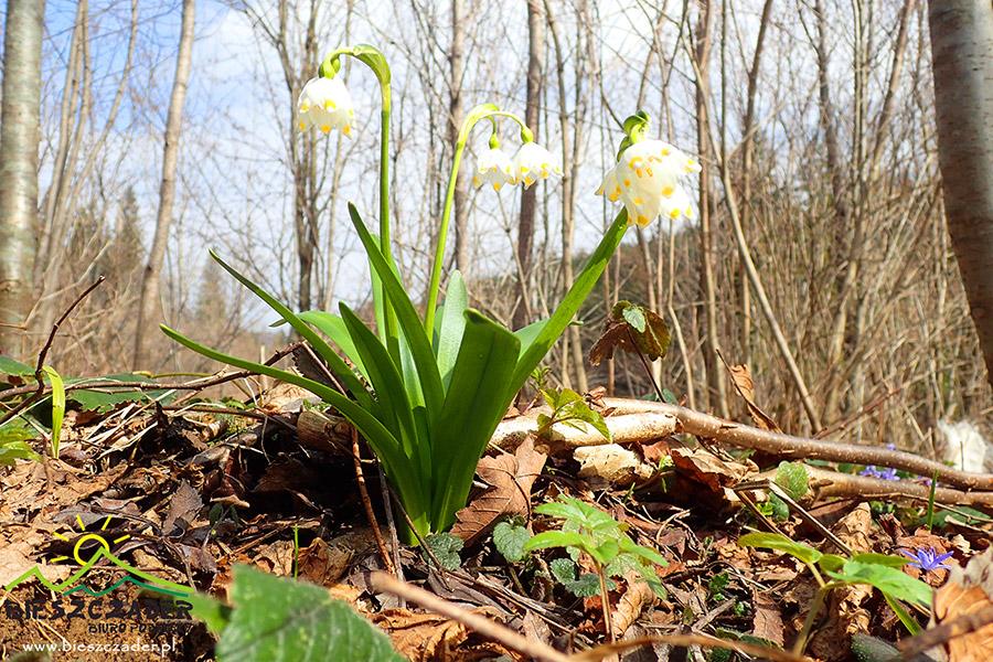 ŚNIEŻYCA WIOSENNA - jeden z pierwszych kwiatów wiosną w Bieszczadach.