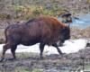 Jeden z żubrów w Mucznem na granicy Bieszczadzkiego Parku Narodowego.