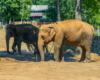 Słonie są chyba w każdym ZOO na świecie, ale te w Sosto Furdo ' Sóstófürdő mają duży wybieg. Same wymyślają różne zabawy... ;-)