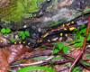 Salamandra plamista lubi wilgotne poszycie bieszczadzkiego lasu jodłowo bukowego. Bardzo często salamandry spotykamy wędrując do Jeziorek Duszatyńskich podczas wycieczki jednodniowej po Bieszczadach Traperska Przygoda :-)