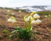 Śnieżyca wiosenna na zboczach Pikuja w kwietniu. Rośnie wszędzie - nawet na samym szlaku.