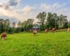 Krowy obok drewnianej cerkwi w Turzańsku z 1803 roku. Cerkiew została w 2013 roku wpisana na listę UNESCO jako jedna z dwóch cerkwi w Bieszczadach! Do Turzańska lub cerkwi w Szczawnem jeździmy z grupami, które zamówiły u nas jedną z najlepszych wycieczek po Bieszczadach - Traperską Przygodę.