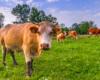 Krowy na pastwisku obok drewnianej cerkwi w Turzańsku. Zdjęcie wykonane podczas wycieczki jednodniowej zorganizowanej na warsztatach fotograficznych po Bieszczadach.