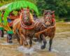 Konie ciągnące dyliżans podczas wycieczki Traperska Przygoda w Bieszczadach - Najlepszy Produkt Turystyczny Podkarpacia 2012!