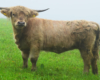 Taka rasa krów jest od nie dawna na jednej z łąk, obok której przejeżdżamy na wyprawie UAZ-ami po pograniczu Bieszczad i Beskidu Niskiego.