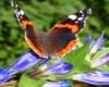 Motyl na goryczce trojeściowej, czyli kwiatku dominującym w sierpniowym krajobrazie połonin wokół Pikuja.