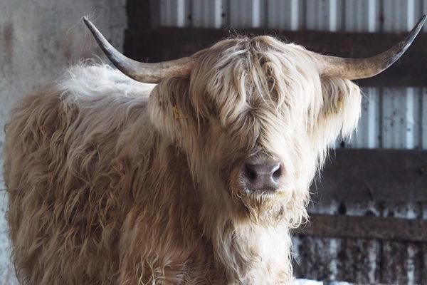 Zwierzęta na pograniczu Bieszczad i Beskidu Niskiego o poranku - dzika krowa.