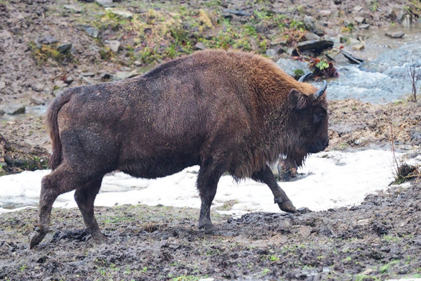 Bieszczady żubr wycieczka jednodniowa - atrakcja w Bieszczadach