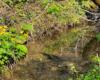 Knieć górska potocznie zwana kaczeńcem rosnąca na brzegu jednego z potoków będącego dopływem rzeki Osława. Wszystko na granicy Bieszczad i Beskidu Niskiego - to jeden z najpiękniejszych regionów turystycznych Województwa Podkarpackiego.