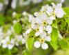 Kwitnące grusze wiosną w Bieszczadach.