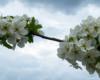 Kwitnąca gałązka gruszy sfotografowana w pochmurny dzień nad Bieszczadami.