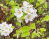 Kwiaty kwitnących dzikich grusz na pograniczu Bieszczad i Beskidu Niskiego.