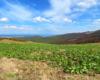 Szczaw alpejski rosnący przy szlaku prowadzącym z Mucznego na Bukowe Berdo w Bieszczadzkim Parku Narodowym.