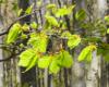 Tak piękny kolor mają listki buków wiosną w Bieszczadach - te sfotografowaliśmy podczas wycieczki na Bukowe Berdo w Bieszczadach 20 maja...