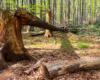 Przy części szlaku prowadzącego na Bukowe Berdo są powalone przez wiatr stare drzewa - głównie nie pasujące do klimatu Bieszczad sztucznie posadzone świerki.