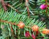 Małe szyszki rosnące na gałęziach bieszczadzkich jodeł.