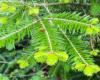 Bieszczadzkie jodły wiosną mają jaśniejsze odrosty na gałązkach - czyż nie są piękne?