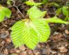 Taki kolor listki buków mają wczesną wiosną w Bieszczadach - czyż nie są piękne?