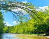 Gałęzie grabu zwisające nad wodą rzeki Wisłok, a dokładnie obok ulubionego wodospadu Jana Pawła II oraz ściany skalnej Olza z odkrywką fliszu karpackiego w Rudawce Rymanowskiej.