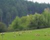 Zdjęcie owiec wykonane w Beskidzie Niskim, ale z tłem w Bieszczadach - las w tle zdjęcia położony jest już w Bieszczadach. A wszystko na terenie Ośrodka Jeździeckiego Tarpan w Wysoczanach.