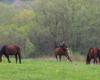 Radość koni wypuszczonych po raz pierwszy na pastwisko na granicy Bieszczadów i Beskidu Niskiego, a dokładnie w Ośrodku Jeździeckim Tarpan w Wysoczanach.