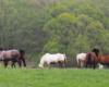 Momentami oprócz brykania najważniejsze dla koni było jedzenie trawy ;-) Takie piękne widoki w stadninie koni Tarpan w Wysoczanach, czyli na granicy Bieszczad i Beskidu Niskiego.