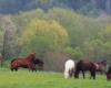 Zdjęcie koni na pastwisku Ośrodka Jeździeckiego Tarpan w Wysoczanach. To stadnina koni położona po obu stronach granicy między Bieszczadami, a Beskidem Niskim.
