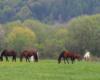 Konie na ogromnym pastwisku Ośrodka Jeździeckiego Tarpan w Wysoczanach. Konie pasą się w Beskidzie Niskim, a za rzeką Osława podziwiamy Bieszczady :-)