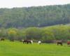 Konie na pastwisku Ośrodka Jeździeckiego Tarpan Wysoczany. Konie to niepowtarzalna atrakcja w Województwie Podkarpackim.